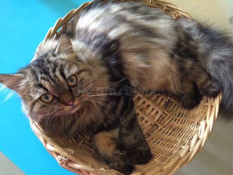 Gato perezoso encrespado para arriba en cesta imágenes de archivo libres de regalías