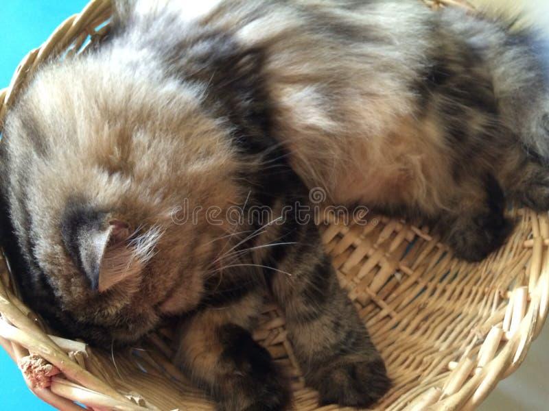 Gato perezoso encrespado para arriba en cesta comfortablemente foto de archivo