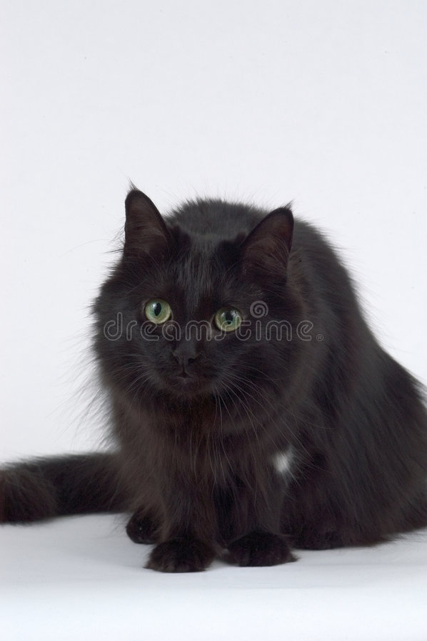 Gato Pernicioso Foto de Stock