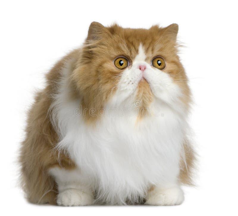 Gato persa, 10 meses velho imagem de stock