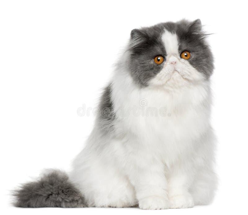 Gato persa, 10 meses velho, sentando-se imagens de stock royalty free