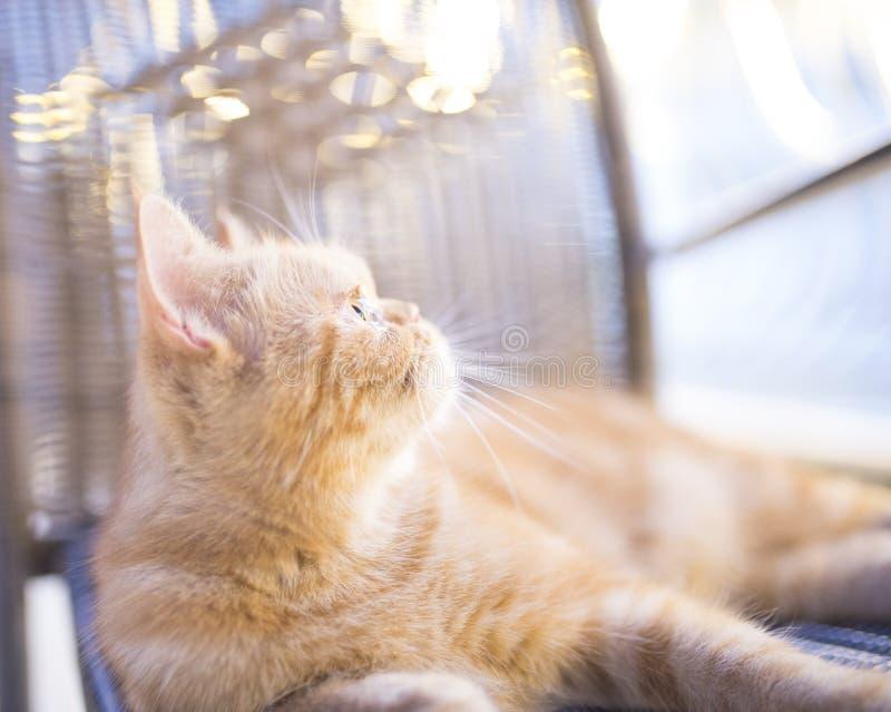 gato persa foto de stock royalty free