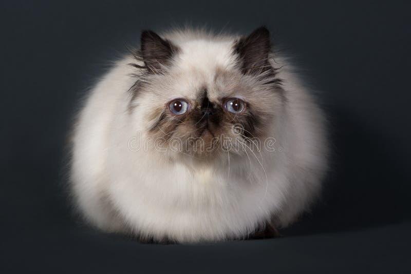 Download Gato persa imagem de stock. Imagem de predator, puffy - 16871379