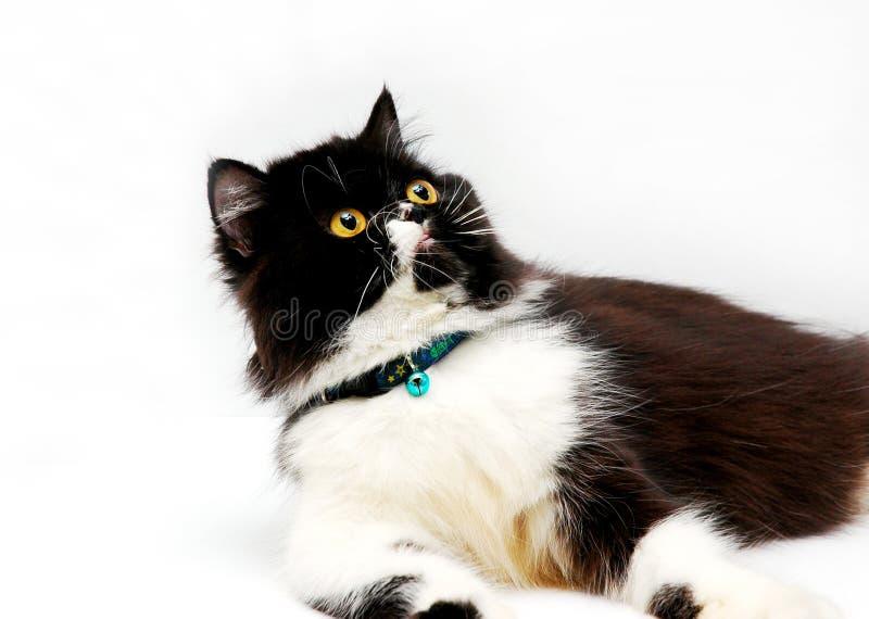 Download Gato persa imagen de archivo. Imagen de negro, gato, tabby - 175359