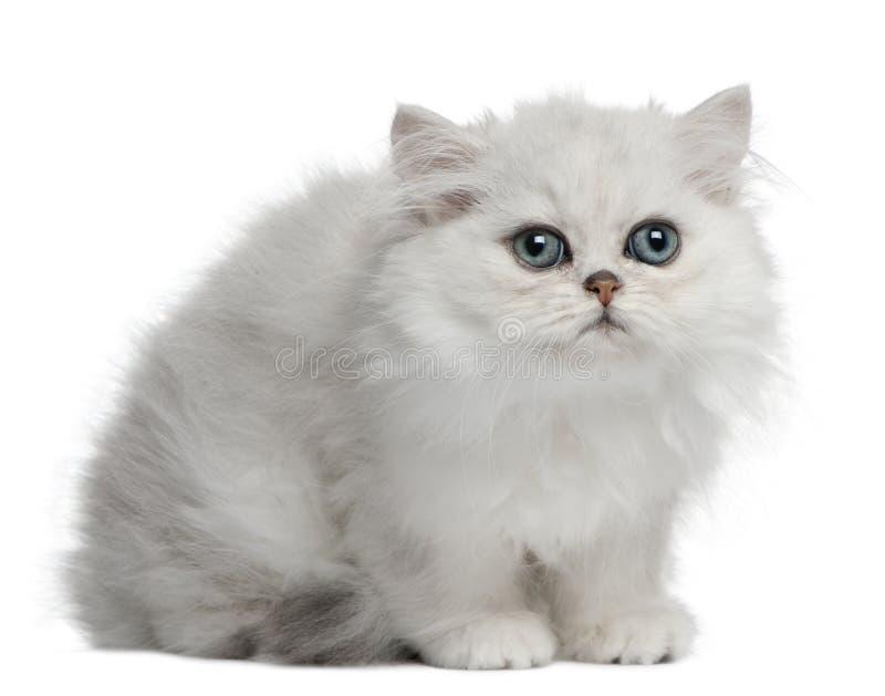 Gato persa, 3 meses, sentándose imagenes de archivo