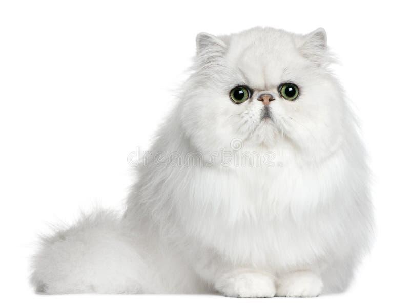 Gato persa, 8 meses, sentándose imágenes de archivo libres de regalías