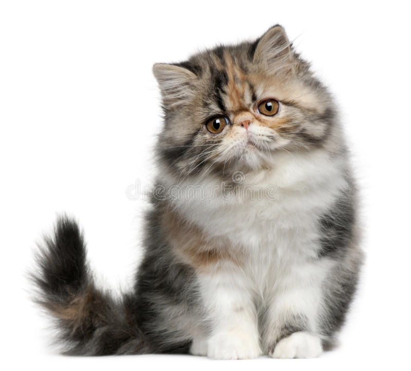 Gato persa, 8 meses, sentándose foto de archivo