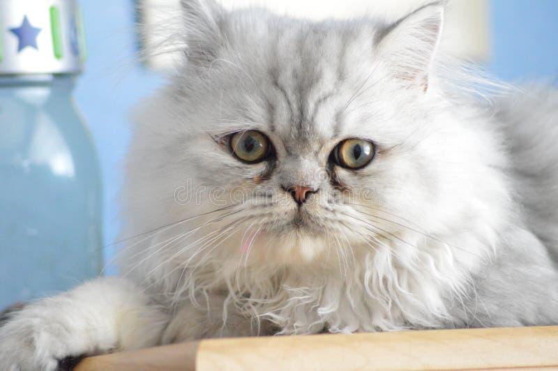 gato persa foto de archivo