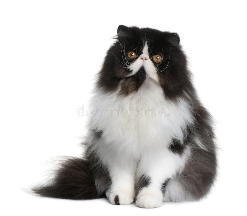 Gato persa, 9 meses foto de archivo libre de regalías