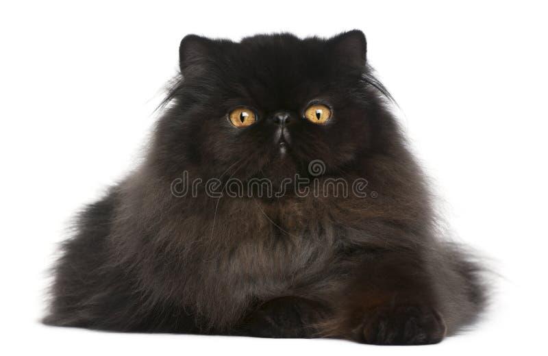 Gato persa, 9 meses imagen de archivo