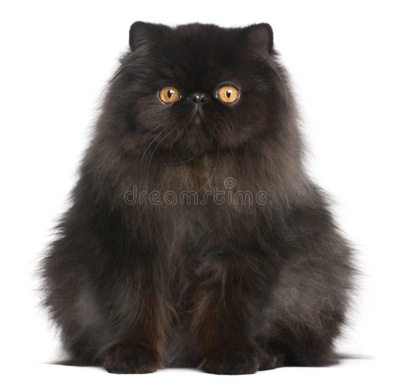 Gato persa, 9 meses velho foto de stock