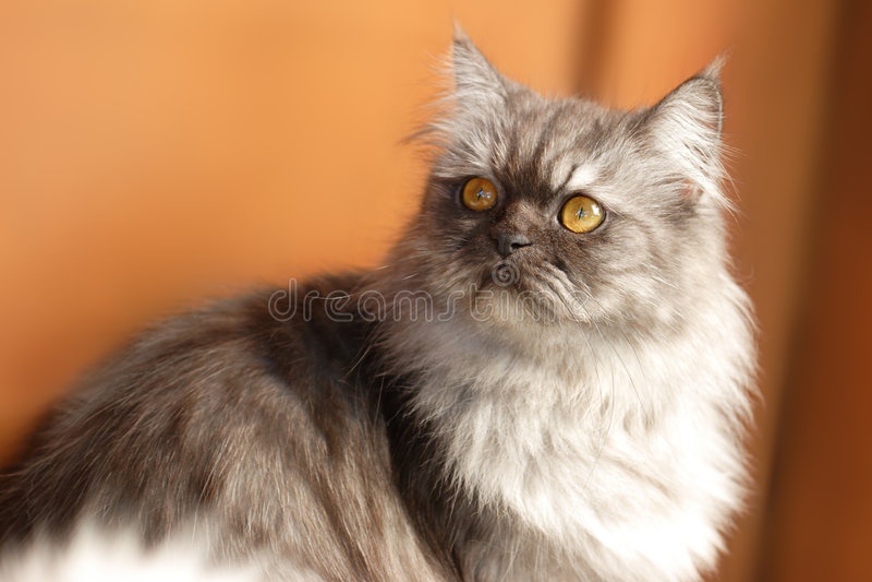 Gato persa bonito imagens de stock royalty free