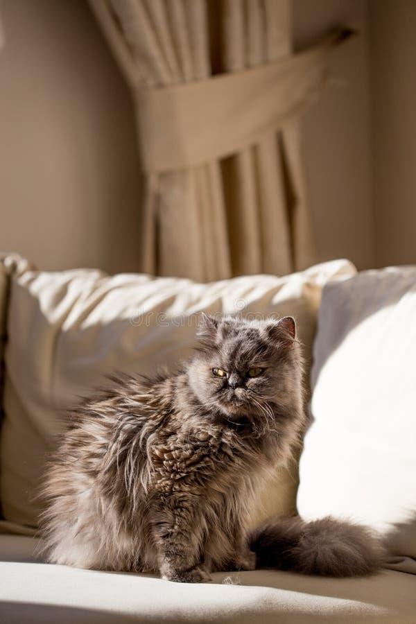 Gato persa cinzento no interior bege fotos de stock
