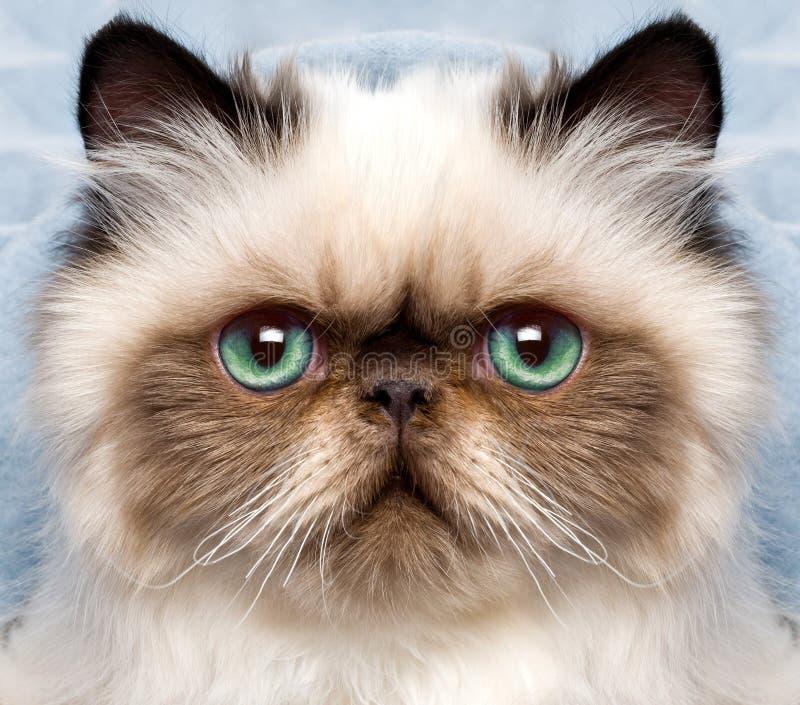 Gato persa con los ojos verdes imagen de archivo