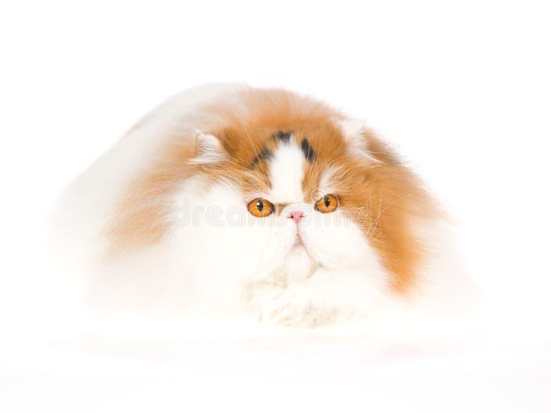 Gato persa del calicó en cama de la piel fotos de archivo