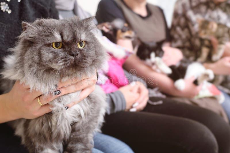 Gato persa en las manos del dueño en la cola para el examen en la clínica veterinaria imagen de archivo libre de regalías