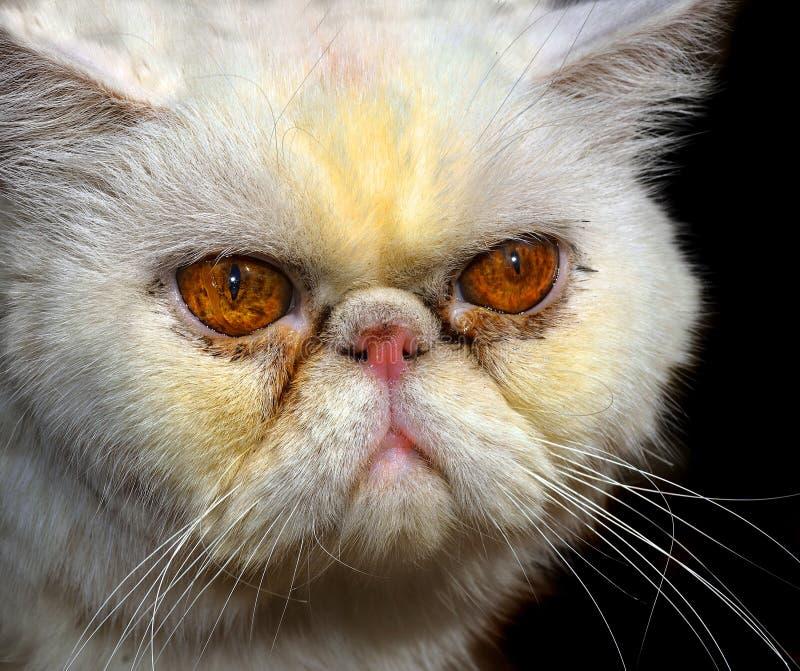 Gato persa enojado imagen de archivo