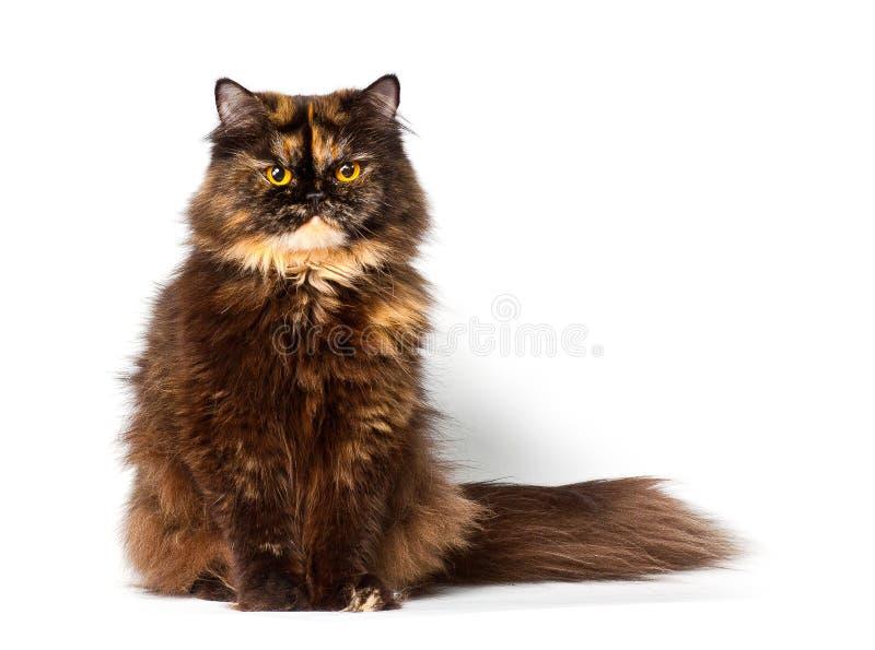 Gato persa grande do tortie imagem de stock royalty free