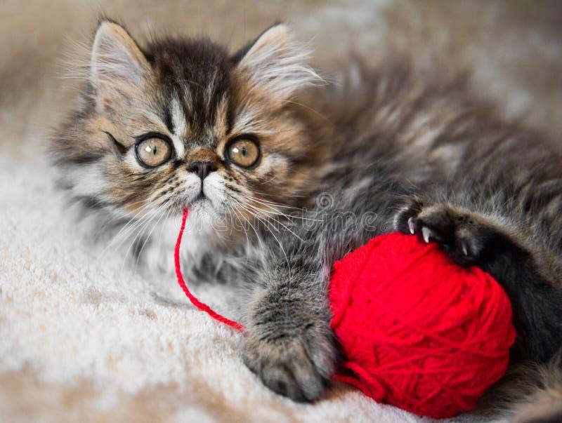 Gato persa hermoso del gatito con el hilo que hace punto fotos de archivo