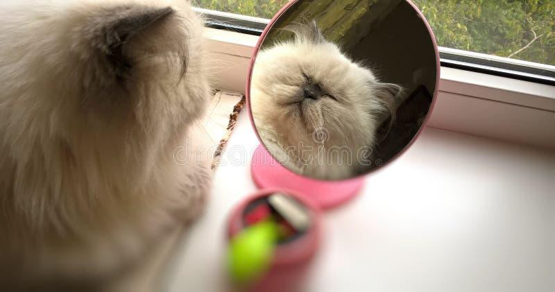 Gato persa hermoso que se admira en el espejo fotografía de archivo libre de regalías