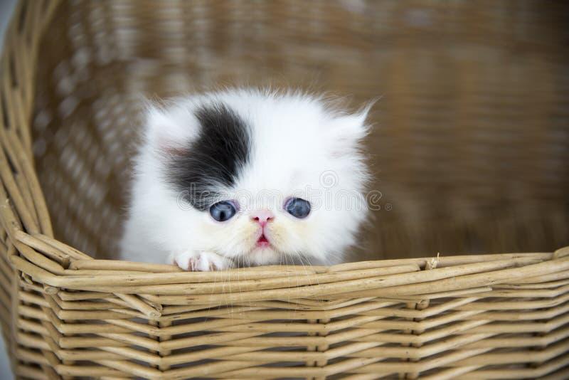 Gato persa na cesta imagens de stock
