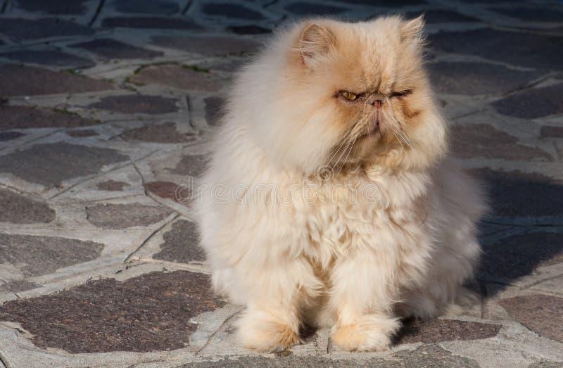 Gato persa rojo viejo imagen de archivo