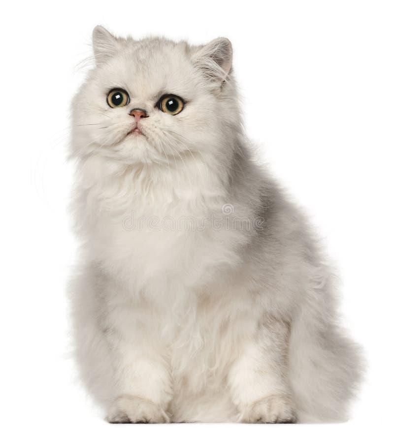 Gato persa, sentándose delante del fondo blanco fotografía de archivo