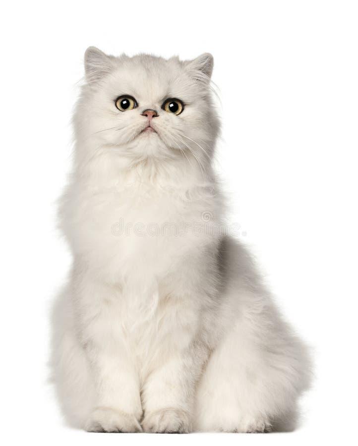 Gato persa, sentándose delante del fondo blanco imagenes de archivo