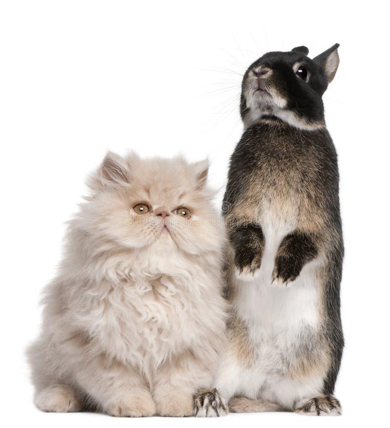 Gato persa y conejo jovenes delante del fondo blanco foto de archivo
