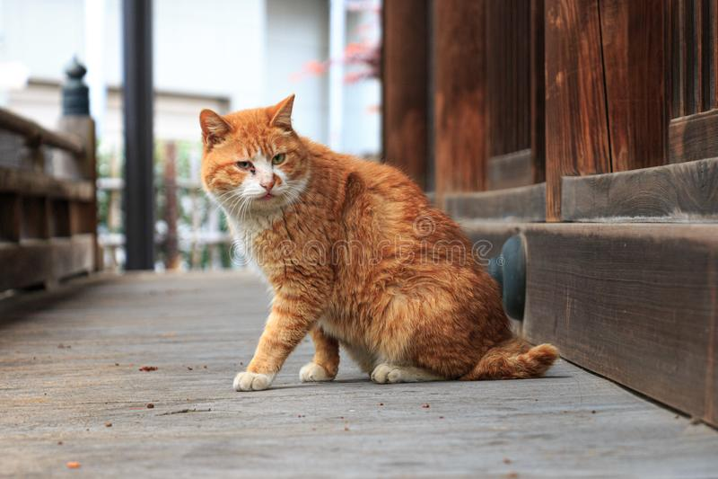 Gato perto do templo no Tóquio foto de stock