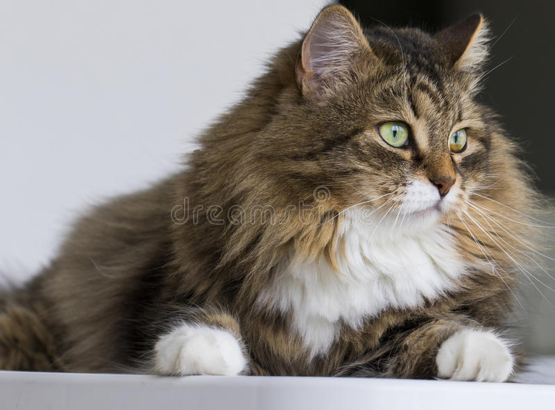 Gato precioso en la casa que mira hacia fuera, gato de gato atigrado marrón fotografía de archivo libre de regalías