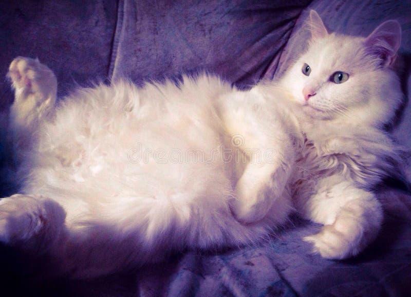 Gato preguiçoso branco fotos de stock royalty free