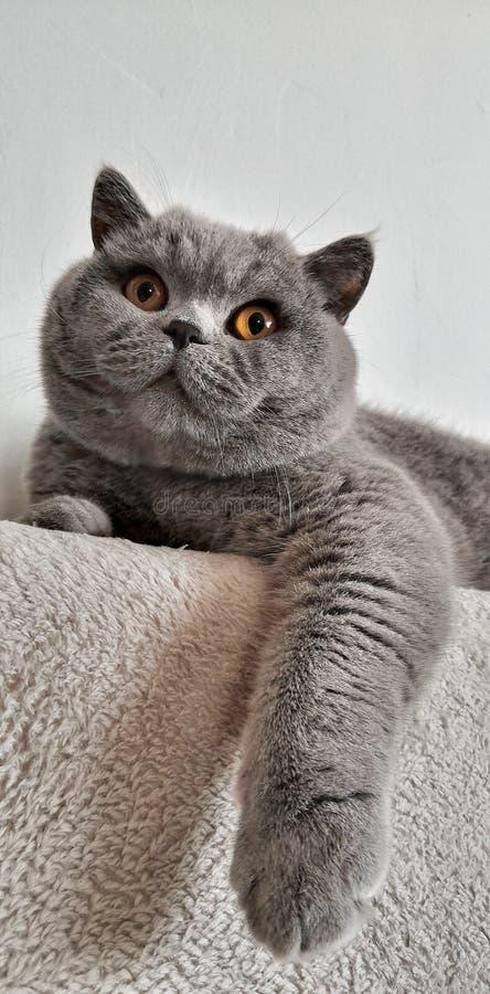 Gato preguiçoso em um sofá imagens de stock