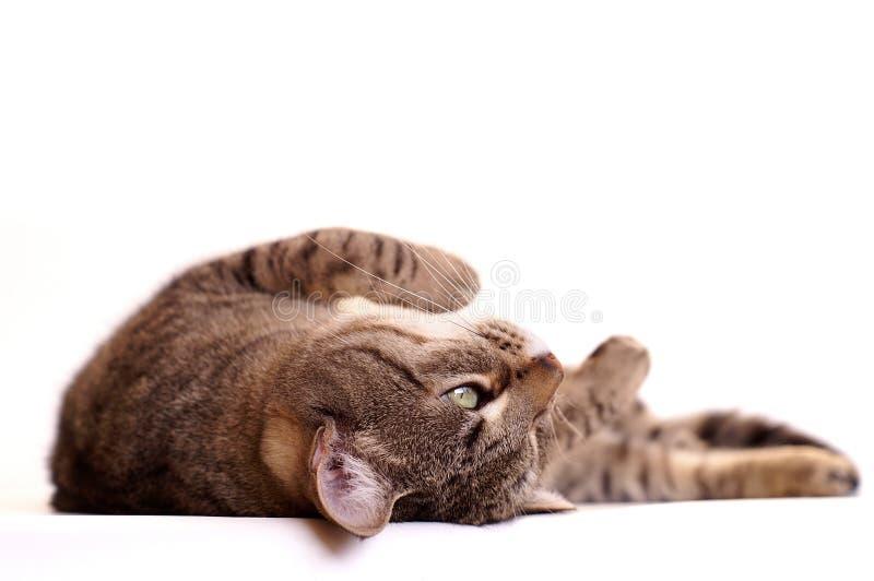 Gato preguiçoso que daydreaming imagens de stock