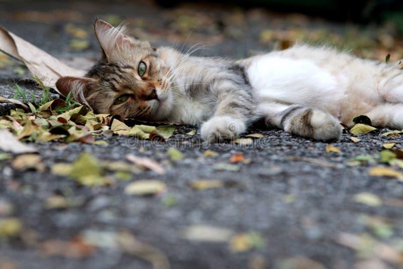 Gato preguiçoso que encontra-se na rua imagens de stock