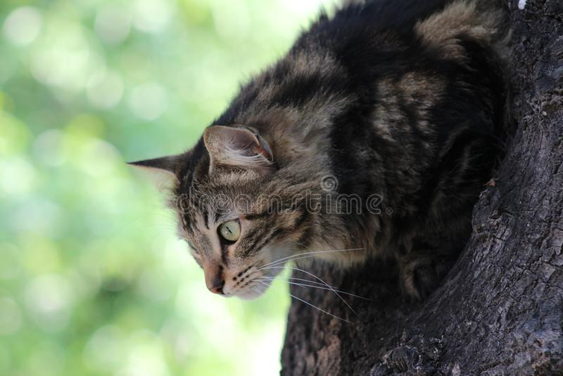 Gato preparado para caçar fotografia de stock royalty free