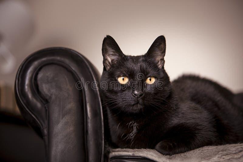 Gato preto imagens de stock royalty free