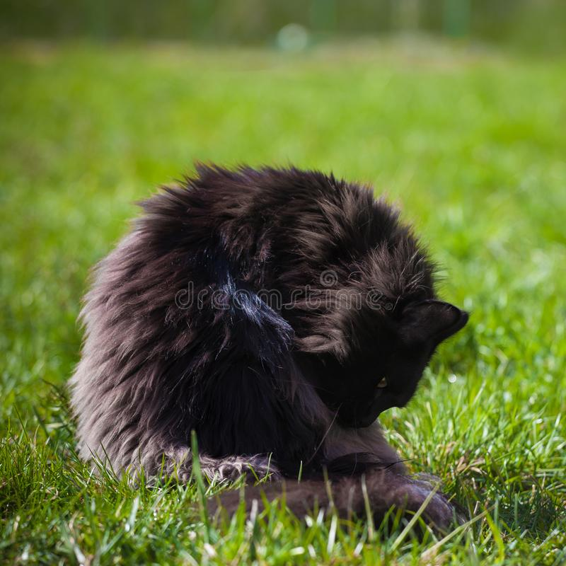 Gato preto ador?vel de Maine Coon na grama fotografia de stock