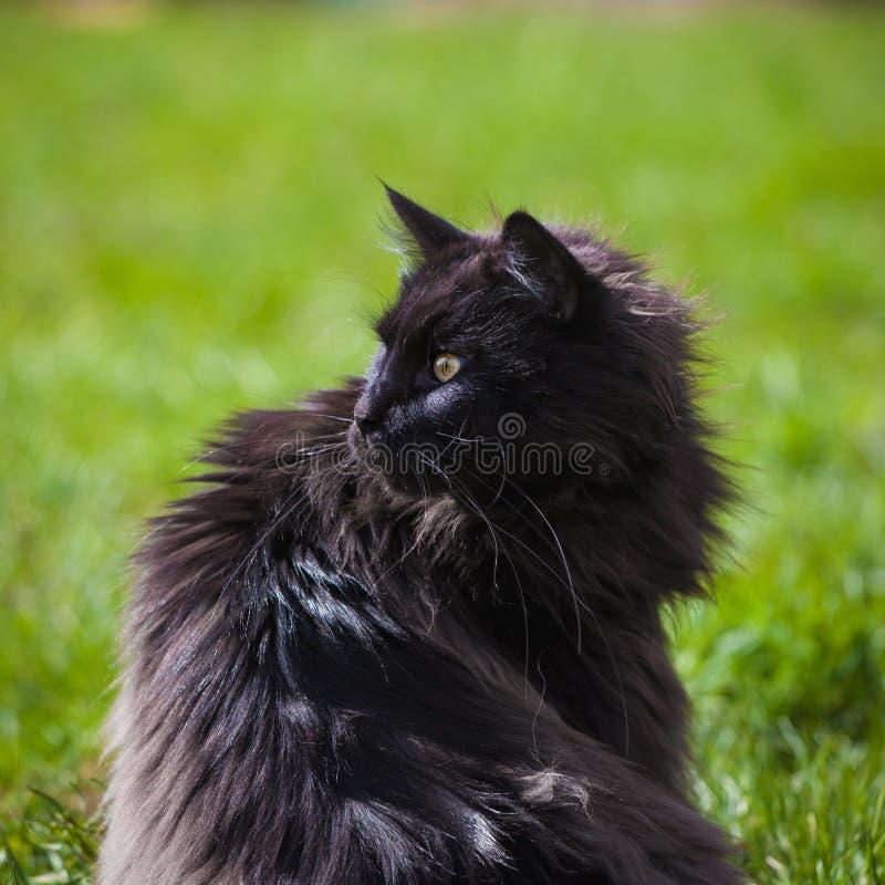 Gato preto ador?vel de Maine Coon na grama fotos de stock royalty free
