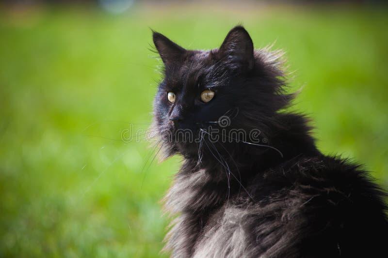 Gato preto ador?vel de Maine Coon na grama imagens de stock