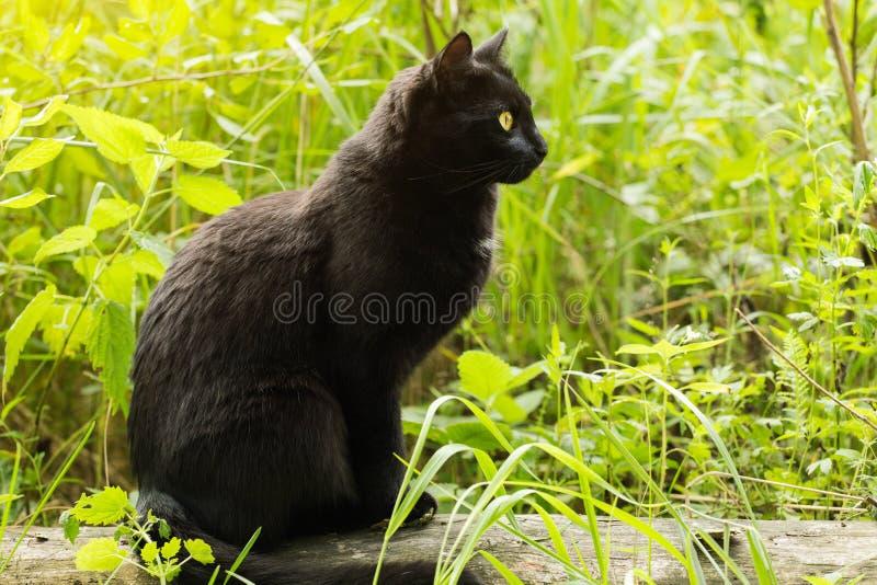 Gato preto bonito de Bombaim no perfil com olhos amarelos e no olhar atento na grama verde na natureza Mola, verão foto de stock