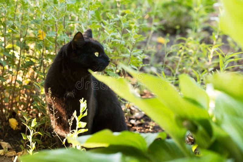Gato preto bonito de Bombaim no perfil com olhos amarelos e no olhar atento na grama verde na natureza foto de stock royalty free