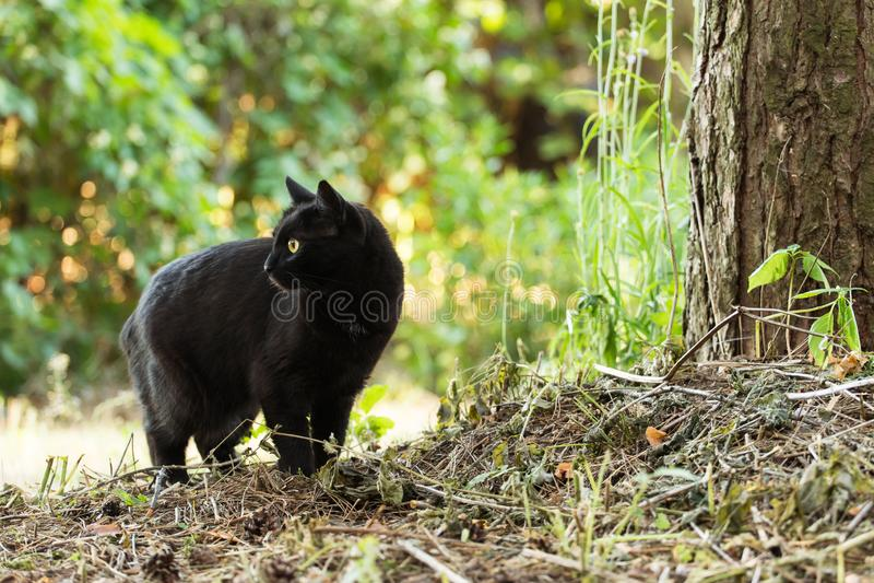 Gato preto bonito de Bombaim no perfil com olhos amarelos e no olhar atento na grama verde na natureza imagem de stock