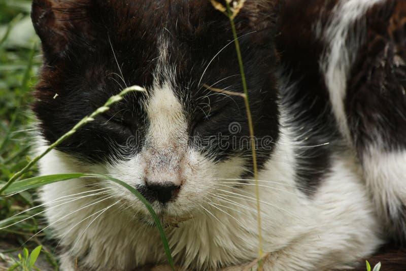 Gato preto bonito que encontra-se no gramado da grama verde, profundidade rasa do retrato do campo fotografia de stock royalty free