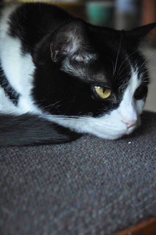 Gato preto & branco foto de stock