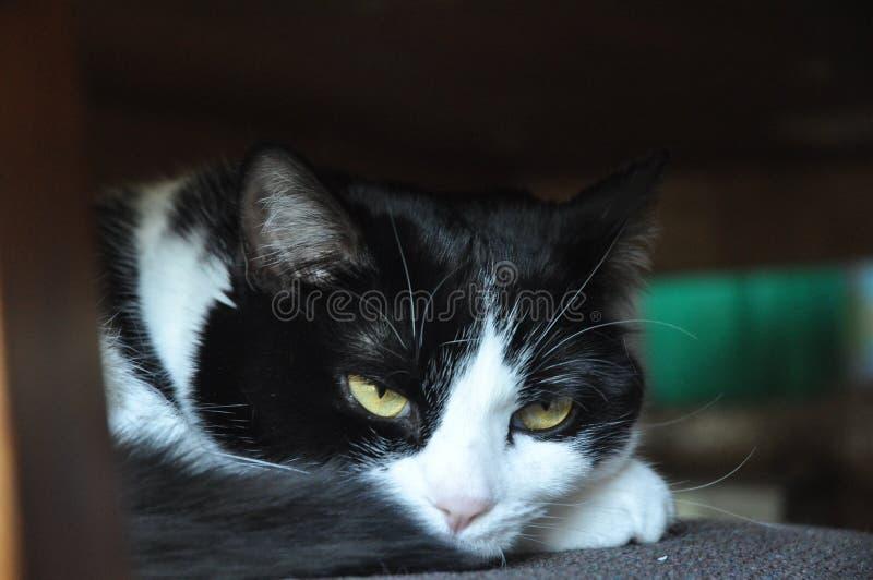 Gato preto & branco fotos de stock royalty free