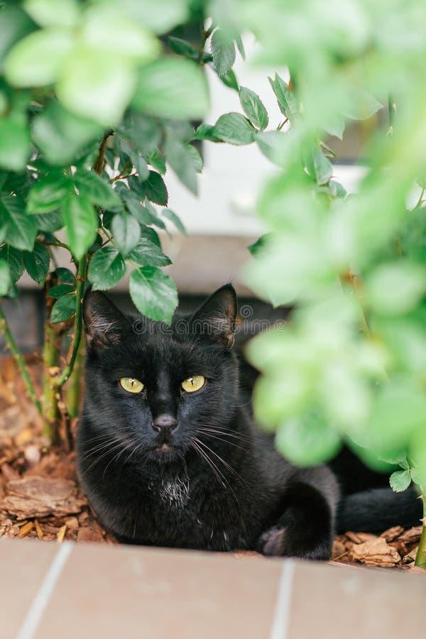 Gato preto com os olhos amarelos que encontram-se perto do arbusto cor-de-rosa no jardim Tiro felino ador?vel exterior fotos de stock