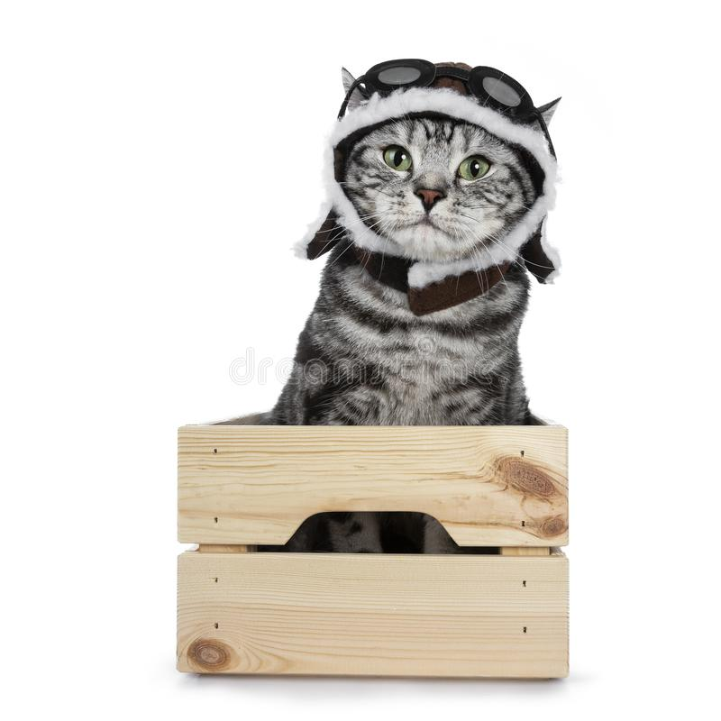 Gato preto considerável de Ingleses Shorthair do gato malhado com os olhos verdes que vestem o chapéu piloto e os vidros que olha fotos de stock