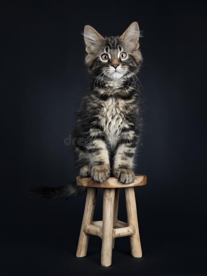 Gato preto considerável de Maine Coon do gato malhado fotos de stock