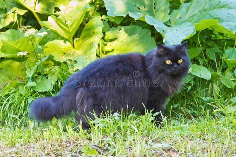 Gato preto de cabelos compridos fotografia de stock